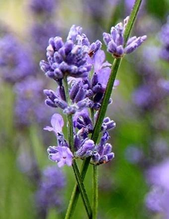 lavender_pic__large